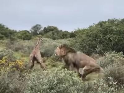 殘酷!寶寶「剛學會走路就被吃掉」 母長頸鹿敵不過公獅逃跑