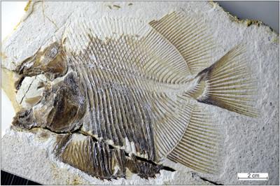 1.5億年前「侏儸紀食人魚」專啃魚鰭