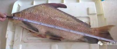 買紅鱗肥魚po文 後才知是瀕危魚!