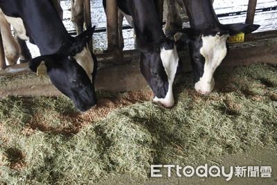 牛吃草就好? 牧場乳牛都吃異國料理!