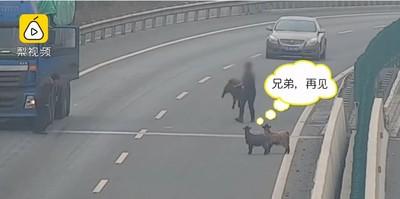 4羊越網上高速 過路司機竟順手牽羊