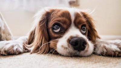 純種狗的悲歌!世界上90%狗品種,全在這一百年被人類製造出來