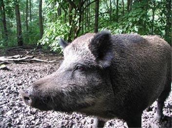 ▲▼野豬(圖/翻攝自維基百科)