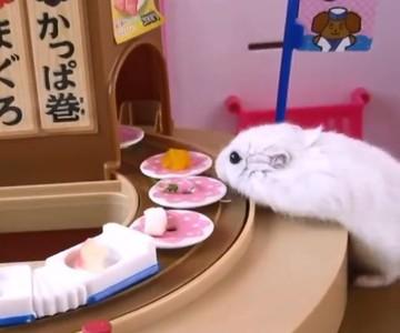 小倉鼠吃迴轉壽司 這舉動網笑翻