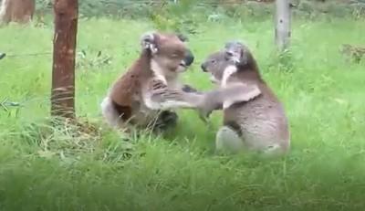 無尾熊怎麼叫?吵架現場神還原尖叫雞