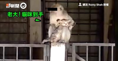 媽面前綁架小貓 獼猴親密幫理毛