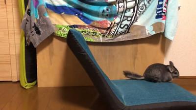 太邊緣…好動「龍貓」把坐墊當翹翹板 左右互跳自己玩