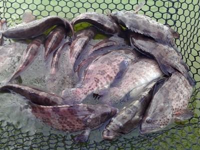 石斑魚傳價格慘 漁業署:外銷增