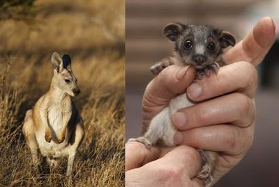 澳洲乾旱「曬瞎小動物」 袋鼠寶寶被拋棄、無尾熊遭車撞