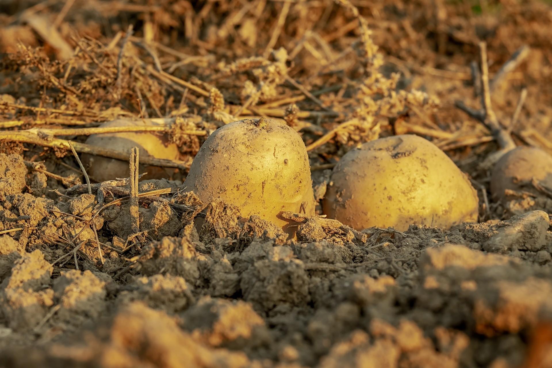 ▲馬鈴薯,漫遊古英國(圖/取自免費圖庫pixabay)