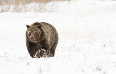 小棕熊爬雪白峭壁四度滑落險墜崖