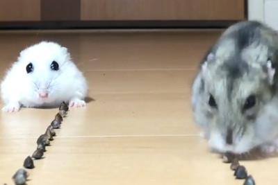倉鼠吃東西比賽 牠秒嗑完還搶食