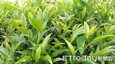 農委會育成台東限定永康野生山茶