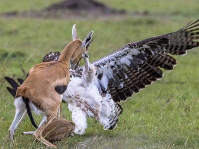 戰鵰一腳踩住寶寶!瞪羚母親體型瘦弱 勇敢衝上前救孩子
