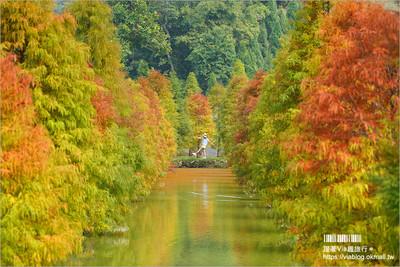 三灣絕美落羽松林倒映池畔