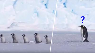 企鵝寶寶後面的孤單身影 網笑噴:單身只能當「幼鵝園」老師?