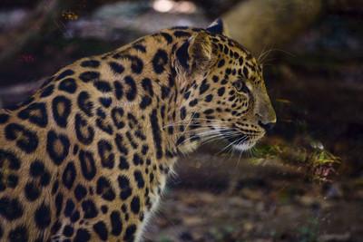 印度僧侶打坐遭豹襲身亡 保護區暫時封鎖