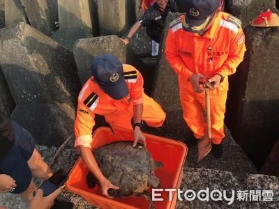 綠蠵龜卡消坡塊 海巡人員助返大海