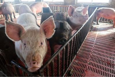 農業農村部:陝西神木、貴州貴陽查非洲豬瘟疫情