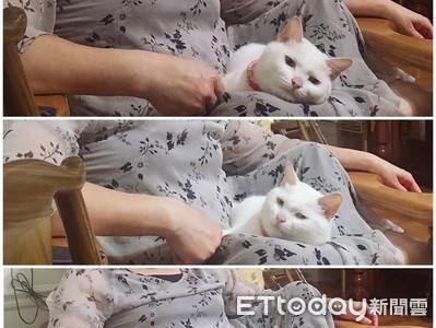 寄養2個月 貓窩媽腿上3連發鄙視