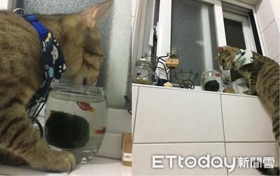喵陶醉喝「魚缸水」 小魚淡定游