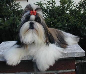好殘忍! 飼主「立遺囑要求愛犬陪葬」 6歲西施犬被強制安樂死火化