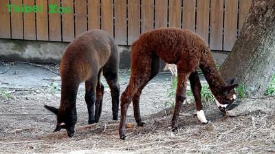 羊駝寶寶造型同步 認錯媽被吐口水