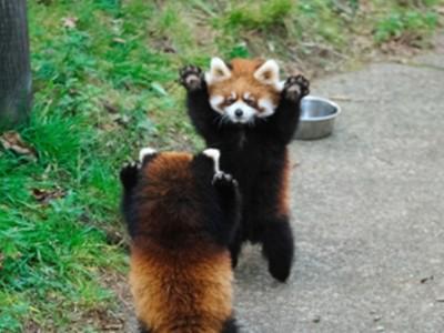 「殺傷力等於零」的威嚇!小貓熊狹路相逢 雙手舉高高看誰先逃
