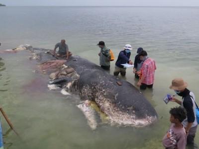 割開胃袋流出千件塑膠物!抹香鯨困游在百噸垃圾裡 腹膜炎慘死