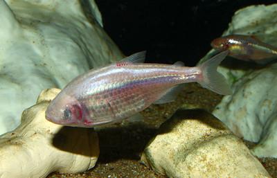 鯉魚心臟自癒 心肌修復取決基因