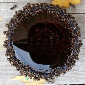 你有看過「螞蟻喝可樂」嗎?