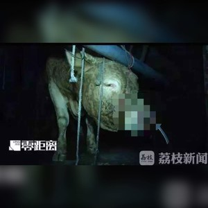 灌60公斤水牛痛暈 屠宰場老闆:牛不會痛