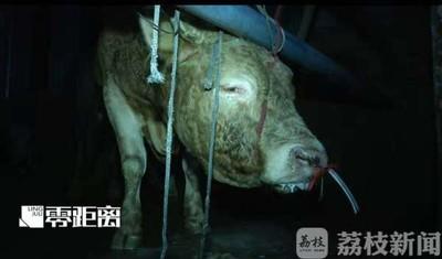 黃牛被灌水60公斤變形 老闆:牠們不痛苦