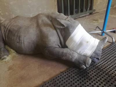 小犀牛目睹媽媽遭「射殺切角」 嚇傻不吃喝守屍兩天險死