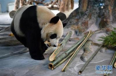 熊貓貢貢和舜舜首次亮相 模樣超萌