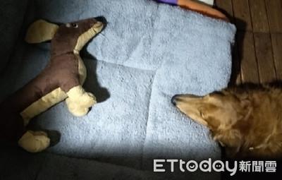 臘腸汪舒適床讓娃娃 寧願睡一旁