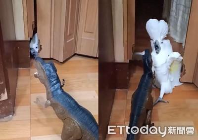 鸚鵡躲門後偷看恐龍 下秒炸毛應戰
