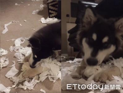 雪橇犬玩瘋! 客廳滿地衛生紙