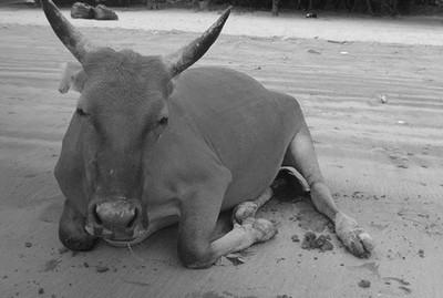 貝澳黃牛Billy撐死 胃裡塞滿塑膠袋
