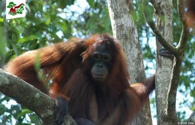 紅毛猩猩淪為「性奴隸」
