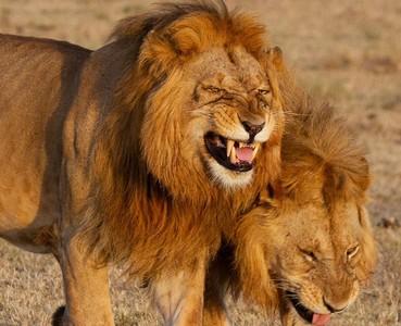 萬獸之王瞇眼張嘴露出「柯P笑」