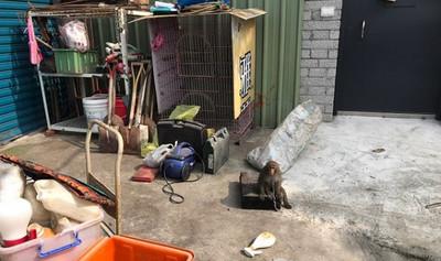 還是保育類!北市工寮非法養獼猴