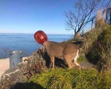 野鹿頭卡塑膠桶 瀕死前終於摘除