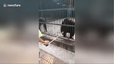 遊客拿自拍棒拍照 黑猩猩搶過來被同伴阻止