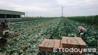 救農民 義美收購150噸高麗菜