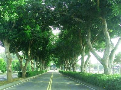 挽救民雄綠色隧道!居民綁白布條護樹