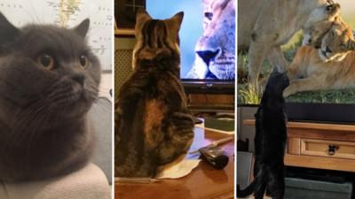 喵皇神祕活動?每家貓咪同時圍在電視機前...原來在追劇看大貓!