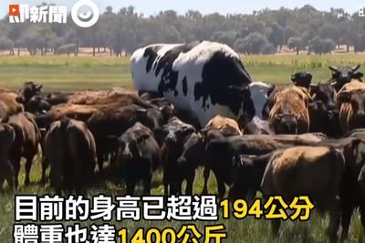 194CM「巨無霸乳牛」藏悲傷內幕