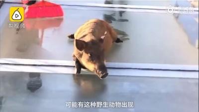 野豬誤闖玻璃天橋 嚇到腿軟狂劈腿