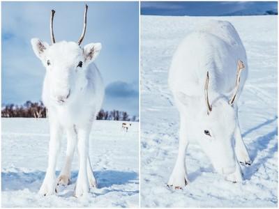 攝影師野外撞見「稀有純白小馴鹿」 在雪地撇眼就看不到啦